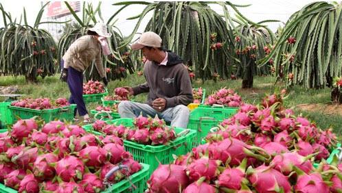 Trái thanh long Bình Thuận những năm gần đây giá cả lên xuống thất thường khiến nhiều hộ dân phải lao đao
